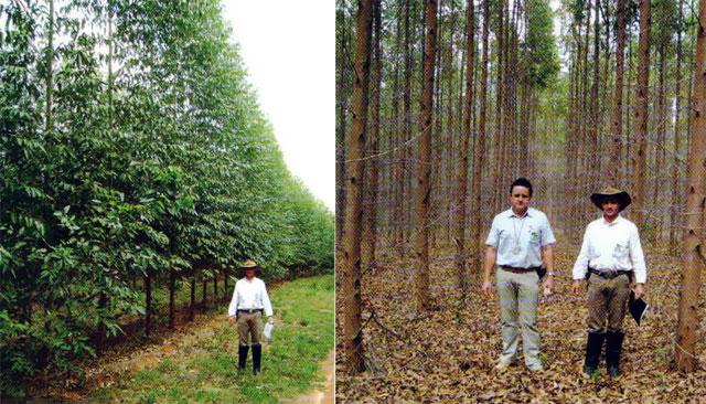 Figuras 1 e 2 - Plantios de alta qualidade com idades 1,5 e 4 anos de idade, respectivamente - Altivo Floresta/MG