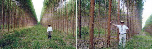 Figuras 3 e 4 - Florestas no sistema silvopastoril (fileiras duplas) com 2 anos e 4 anos apresentando excelente desenvolvimento - Altivo Floresta/MG
